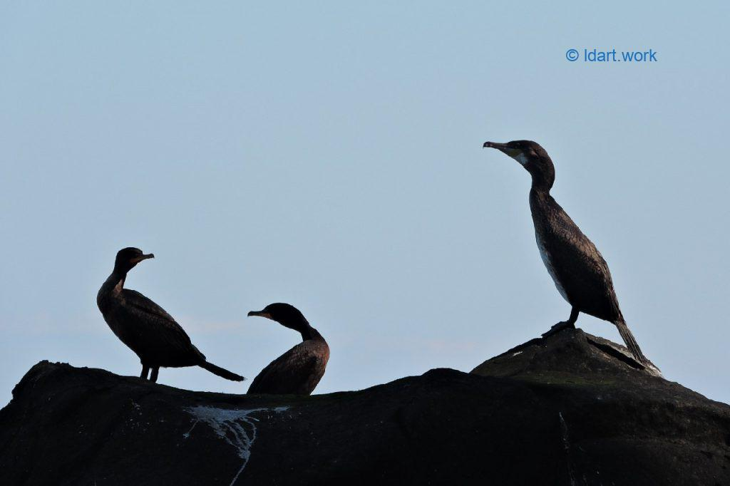 cormorants, Grand Manan Island photo