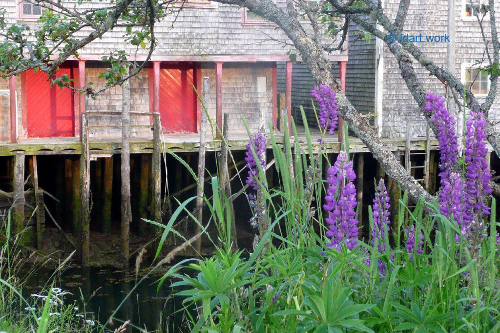 photo de lupins, île de Grand Manan